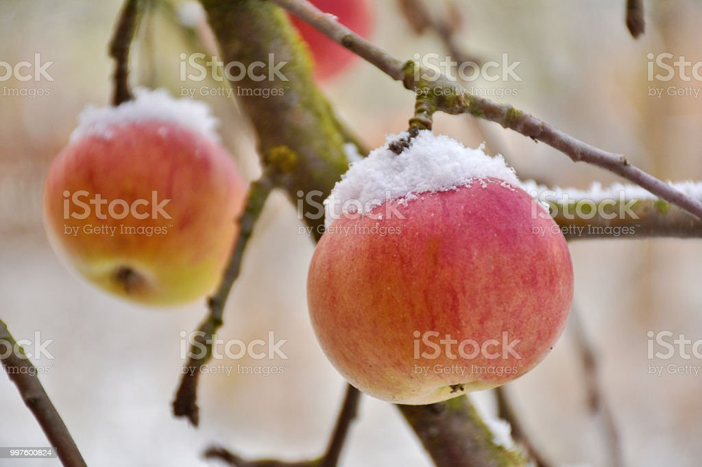 Snow on top of apples stock photo