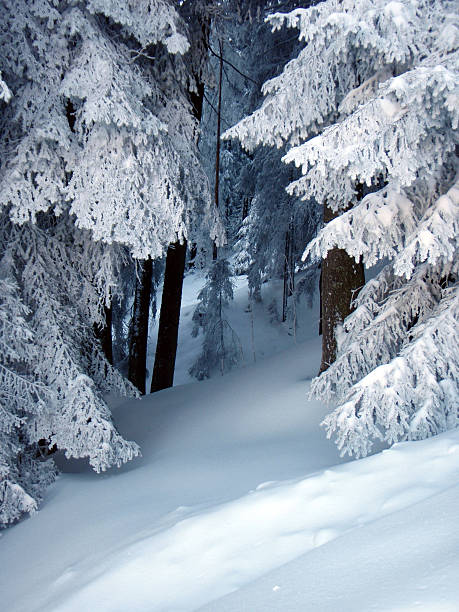Snow on trees in forest stock photo