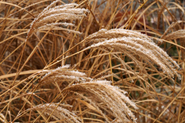 snow on wilted flowers of a japanese silver grass - miscanthus sinensis foto e immagini stock
