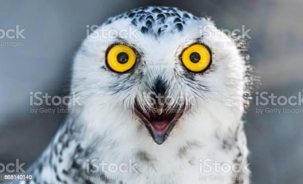 Snow owl close up picture id868140140?b=1&k=6&m=868140140&s=612x612&h=zg4wivxg6ge33zine eqv9nwcmv57nbd5c3kg2vj5nw=
