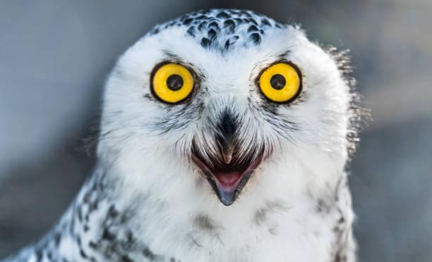 Snow owl close up Snow owl close up zug stock pictures, royalty-free photos & images