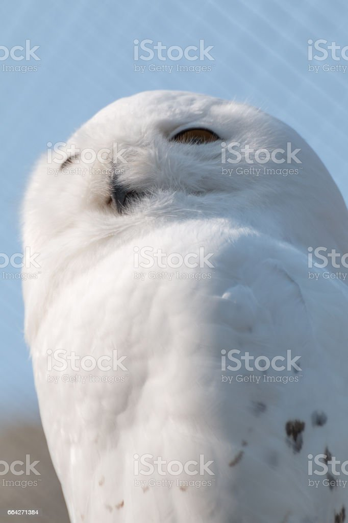 Snow owl in sharp  portrait with decent bokeh stock photo