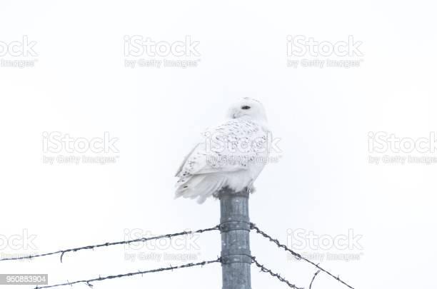 Snow owl picture id950883904?b=1&k=6&m=950883904&s=612x612&h=kfb67xk mzzmdv4dcal2ma78j3ltfxgtbiyexfpvhng=