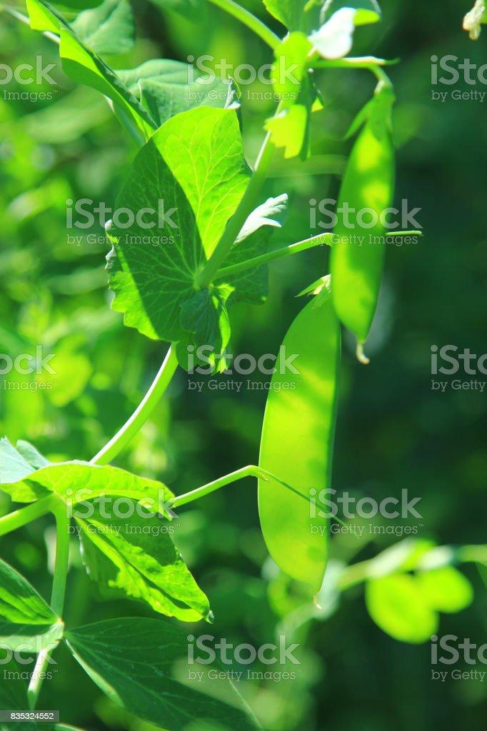 Snow pea, green pea, suger pea (Pisum sativum) stock photo