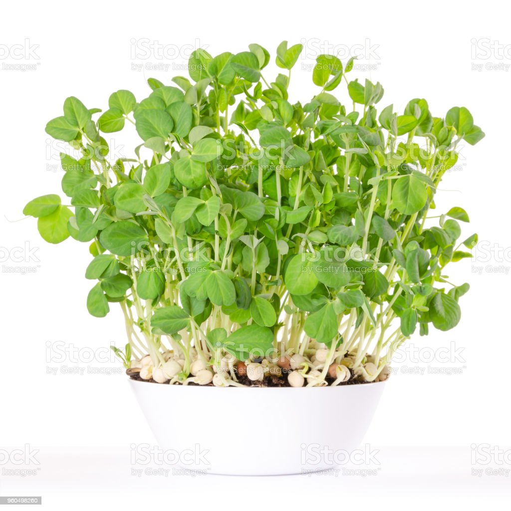 Snow pea microgreen in white bowl and potting compost stock photo