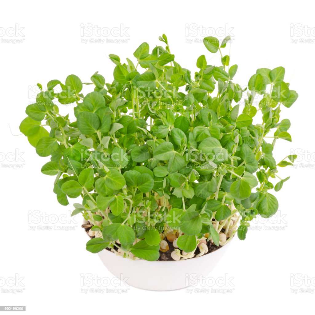 Snow pea microgreen in white bowl from above stock photo
