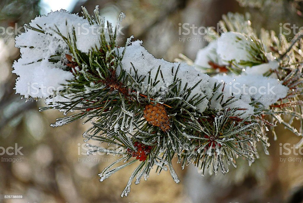 Snow Pine stock photo