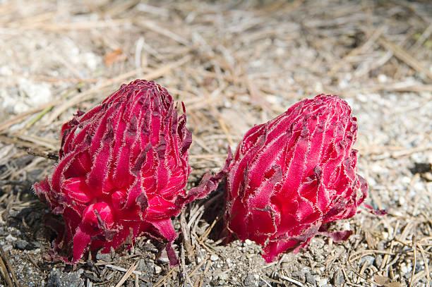 Snow Plant (Sarcodes sanguinea) foto