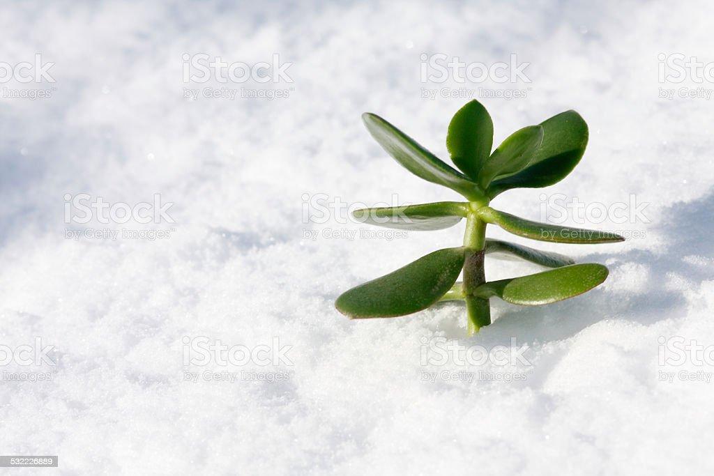 Snow plant stock photo