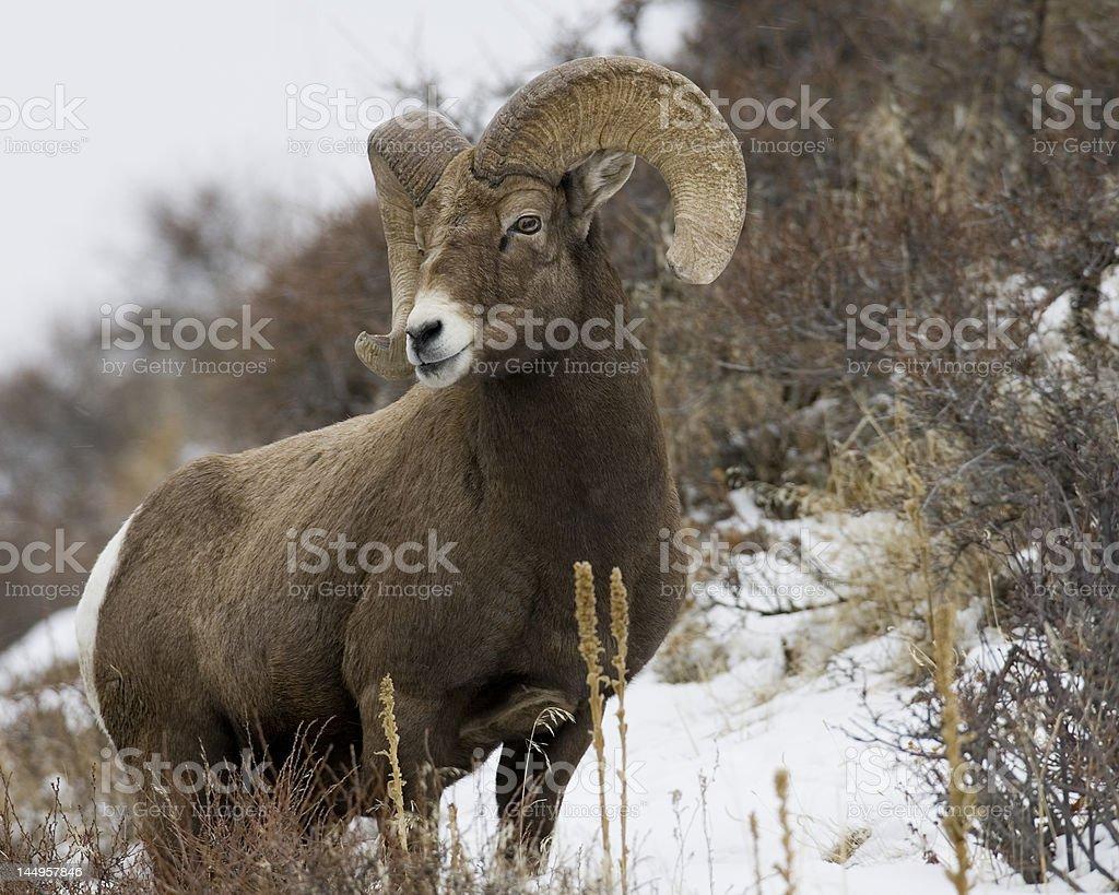 Snow Ram royalty-free stock photo