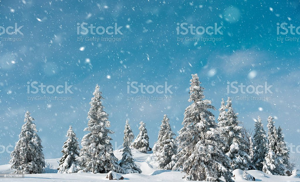 Snow storm in winter forest stock photo