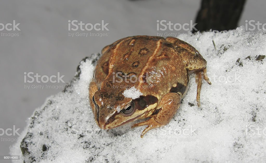 Snow Toad stock photo