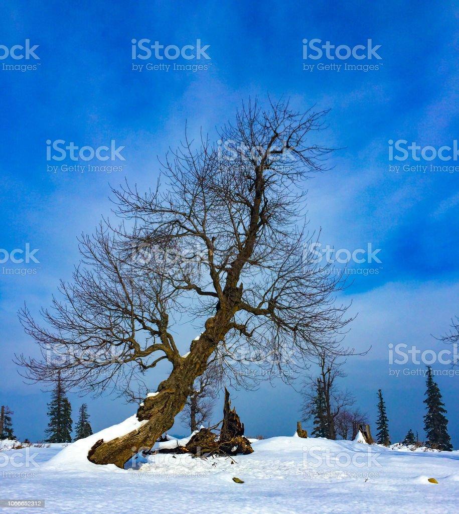 Snow Trees in Gulmarg stock photo