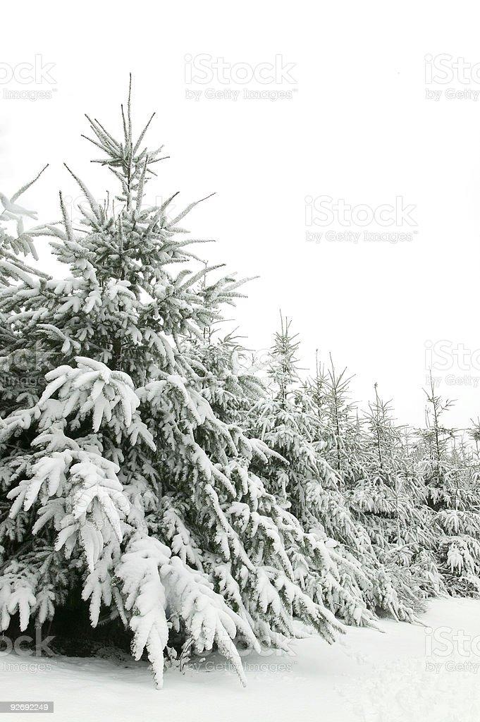 Snow trees royalty-free stock photo