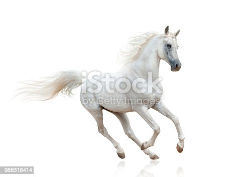 Snow white arabian stallion isolated over a white