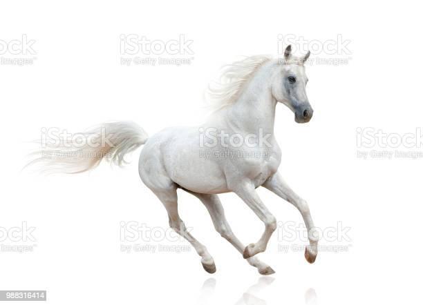Snow white arabian stallion picture id988316414?b=1&k=6&m=988316414&s=612x612&h=9ieqegzcfizxz2i4550x0suhahzf6eztl9cxubfxvd0=