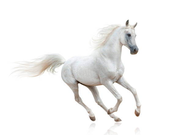 snow white arabian stallion - horse stock pictures, royalty-free photos & images