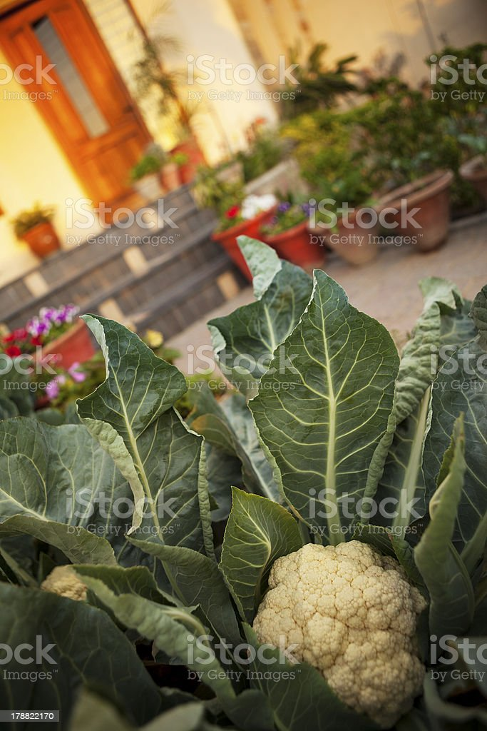 Snowball Cauliflower in Home Front yard Vegetable Garden royalty-free stock photo