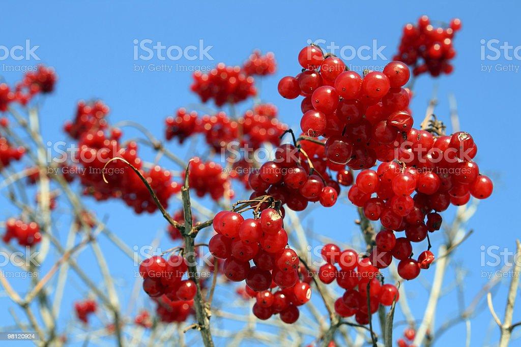 snowball tree berryes royalty-free stock photo