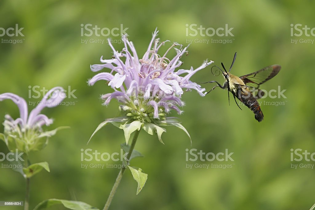 Snowberry Clearwing (Hemaris diffinis) royalty-free stock photo