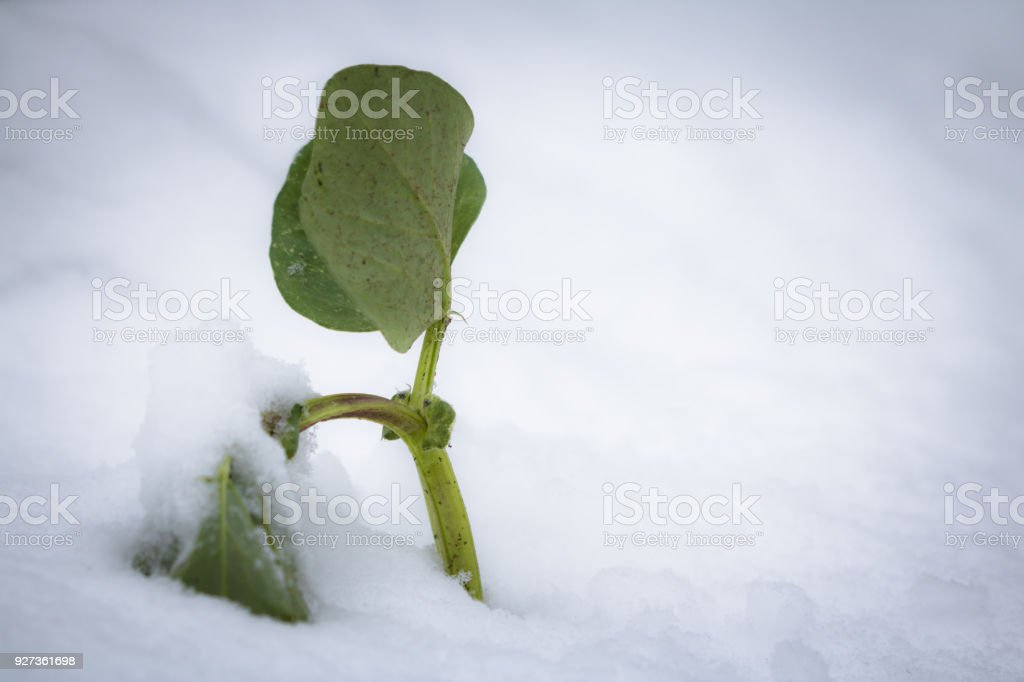 snowcapped survival vegetable patch starring out the snow in springtime bad cold weather conditions, southern france snowcapped survival vegetable patch starring out the snow in springtime bad cold weather conditions, southern france 2018 Stock Photo