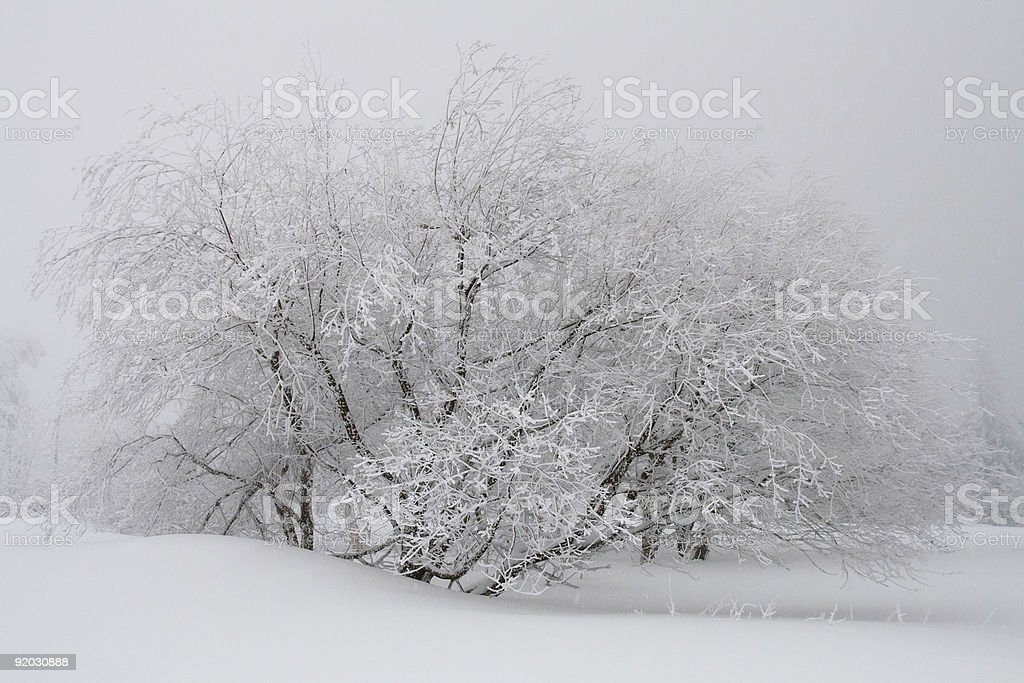 Snow-capped tree after blizzard royalty-free stock photo