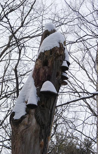 Snow-Capped Tree Stump & Fungus stock photo