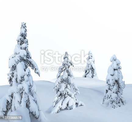 Snowcapped pine trees isolated on white background.