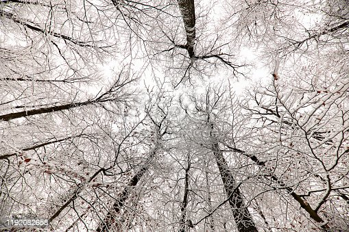 Snow-capped treetops in the forest. View from below.