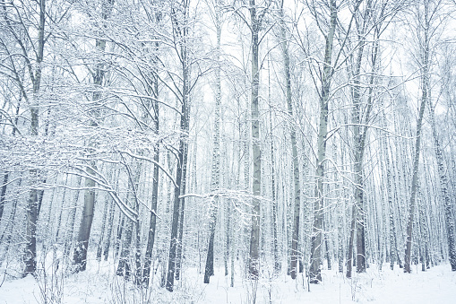 Snow-covered birch trees in winter park. Brest, Belarus