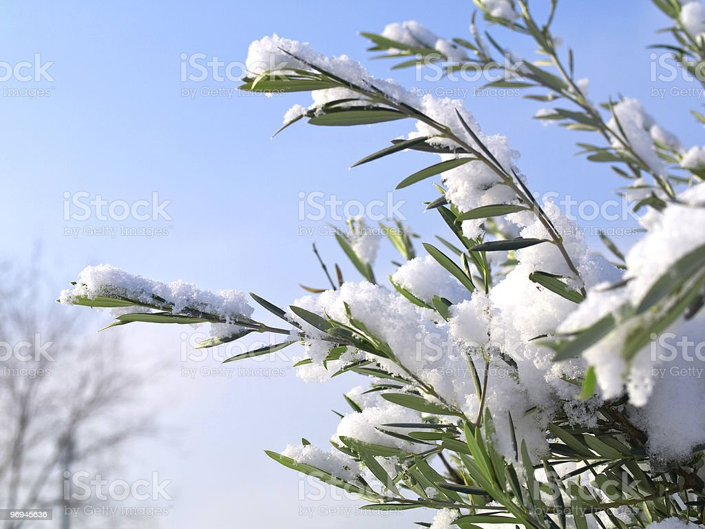 Snow-covered branch in a beautiful sunny day royalty-free stock photo
