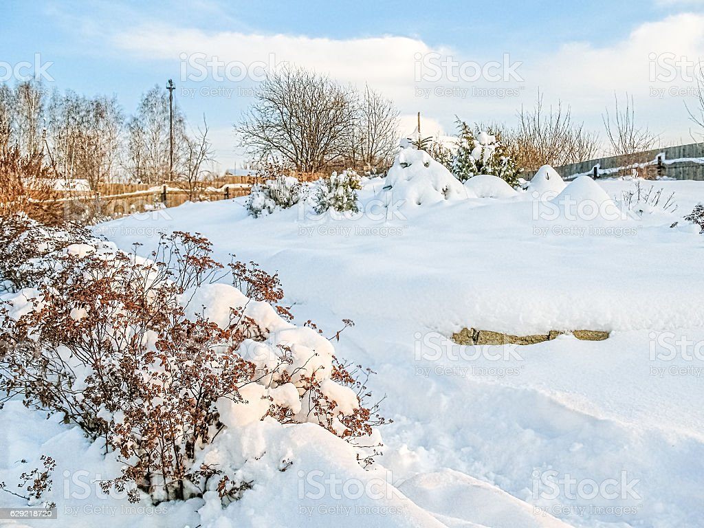 snowcovered branches of spirea in the winter garden stock photo