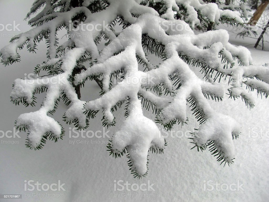 Snow-Covered Fir Bough stock photo