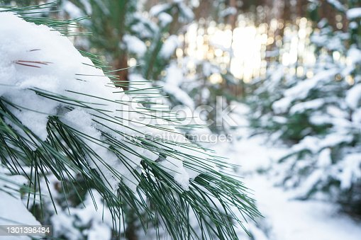 Snow-covered fir branches, winter forest. Close-up.
