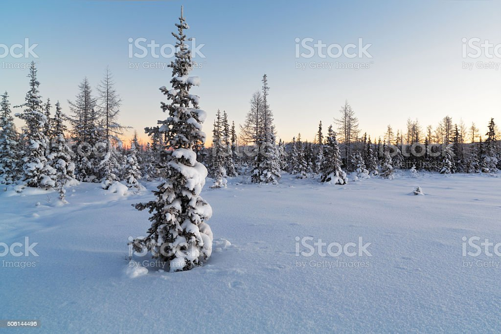 Snow-covered fir tree on the background of  forest stock photo