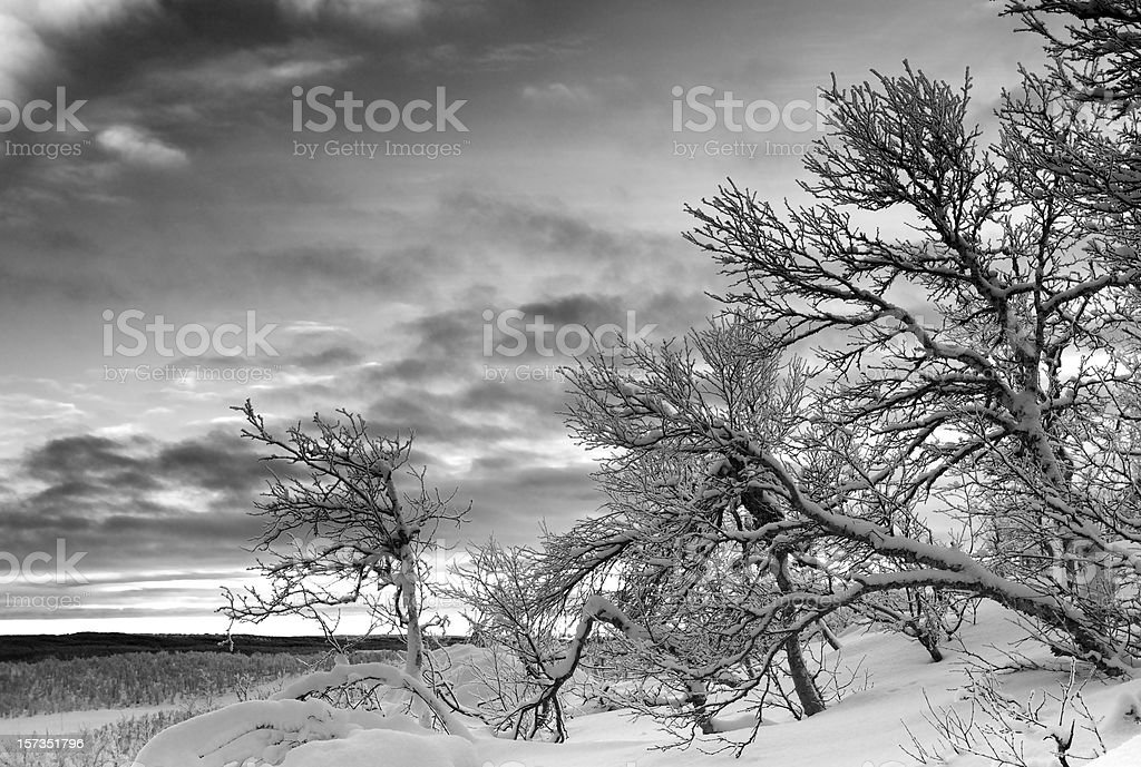 Snow-covered ground and frosted birch forest on winter morning royalty-free stock photo