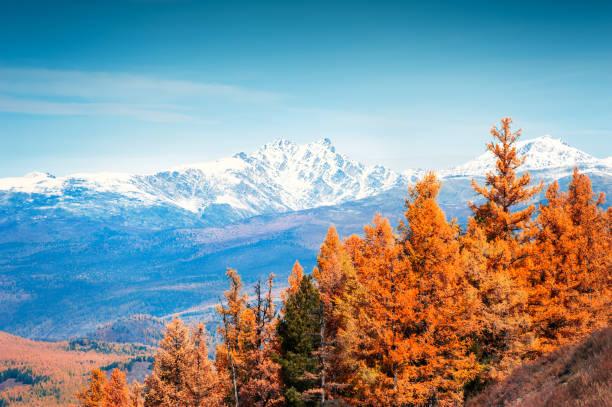 besneeuwde bergtoppen en gele herfstbomen. - altai nature reserve stockfoto's en -beelden
