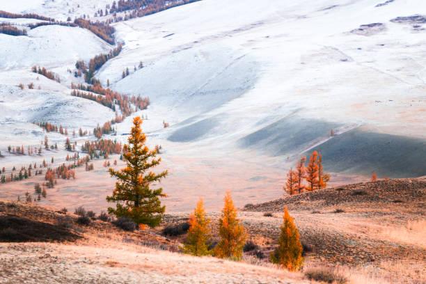 besneeuwde bergen met gele bomen. - altai nature reserve stockfoto's en -beelden