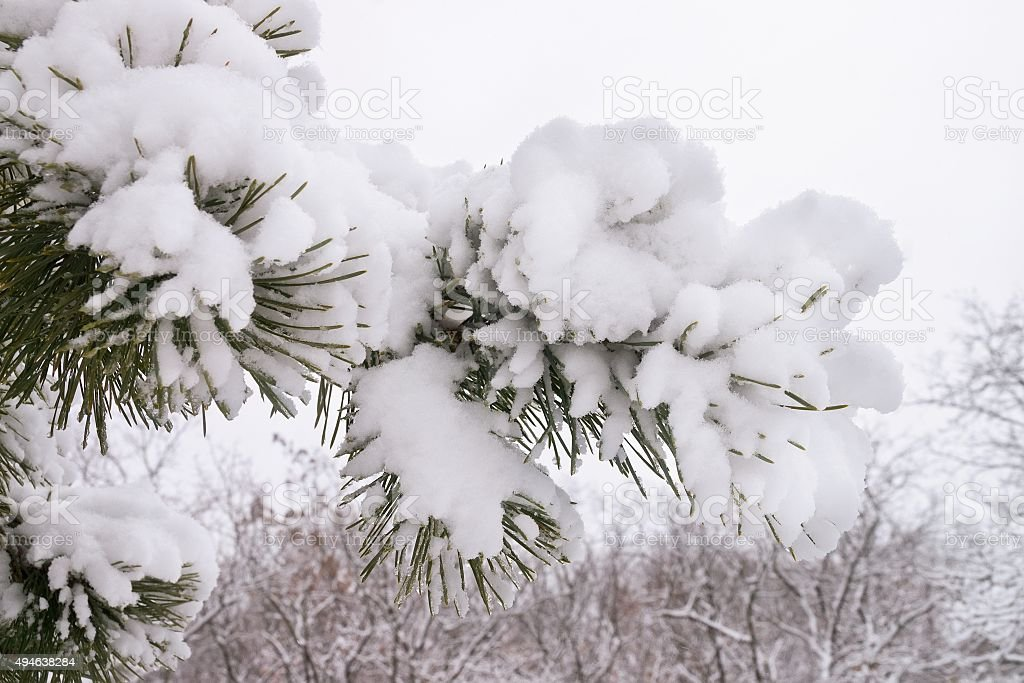 Snow-covered pine branches stock photo