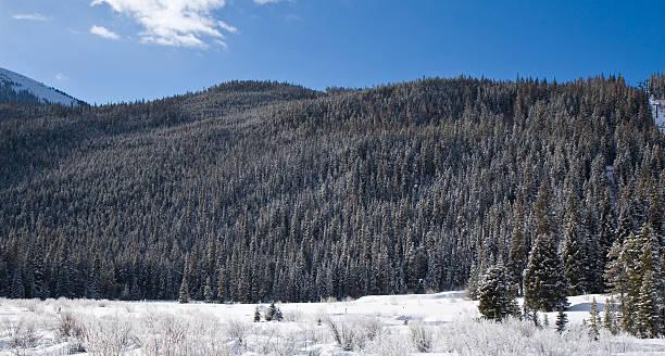 Snow-covered Pine Trees stock photo