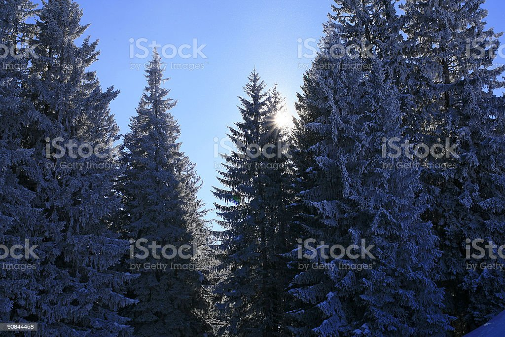 snow-covered pine trees royalty-free stock photo