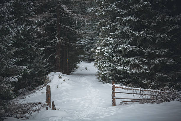 snow-covered road in a pine forest stock photo