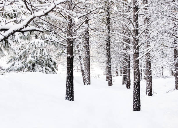Snow-Covered Trail Through Grove of Trees stock photo