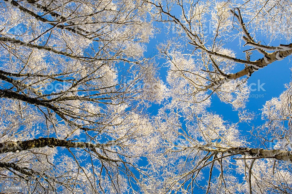 Snow-covered trees from below stock photo