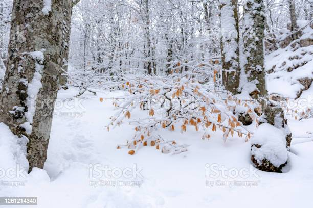 Photo of Snow-covered trees in the forest. Snow on autumn yellow leaves.