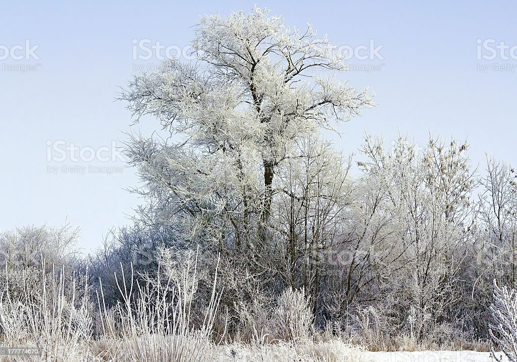 Snow-covered trees in the sunlight royalty-free stock photo