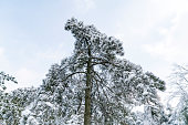 Pine trees covered with snow.