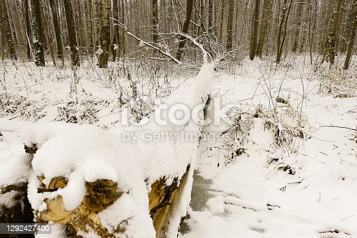 Snow-covered trees in winter. A tree knocked down by a strong wind that fell into the depths of the forest and forms a bridge over a frozen stream, covered in by the sleet that fell during Christmas.