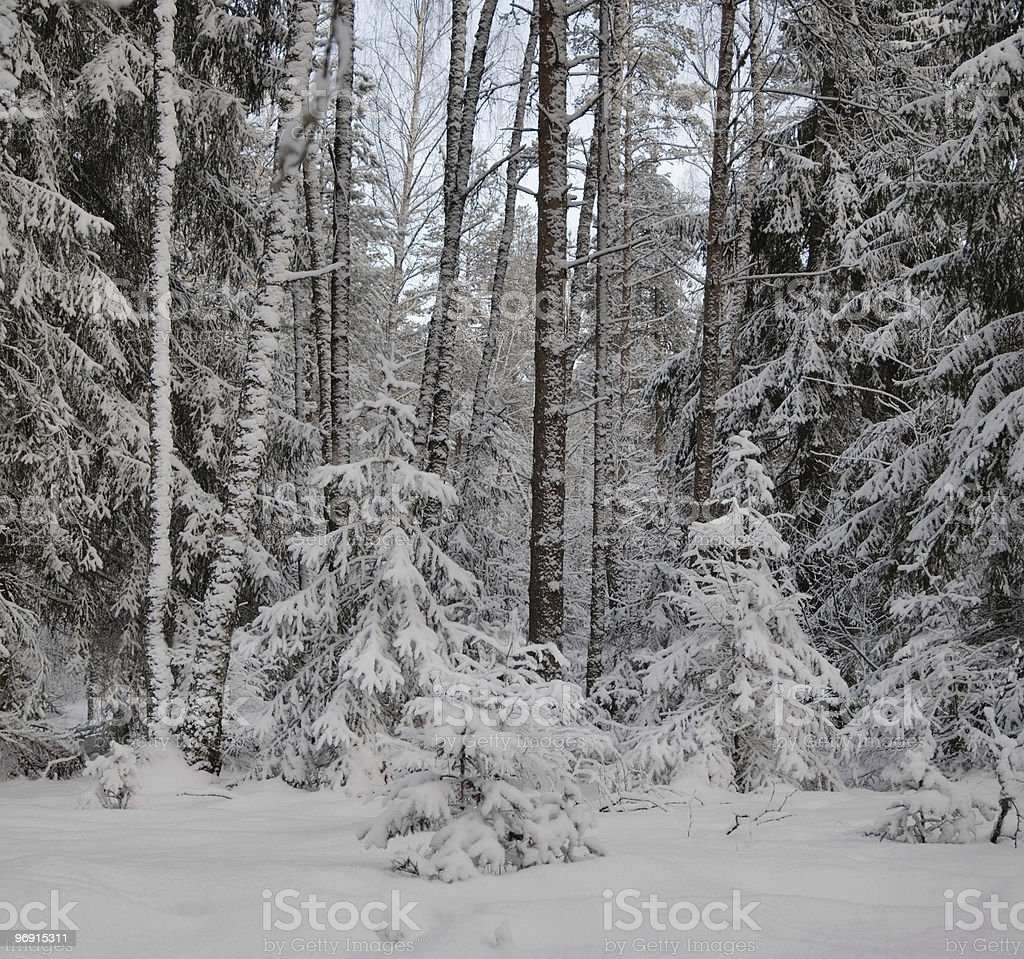 Snow-covered winter wood royalty-free stock photo