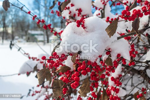 Snow covers the red berries on a winterberry holly bush (ilex verticillata).